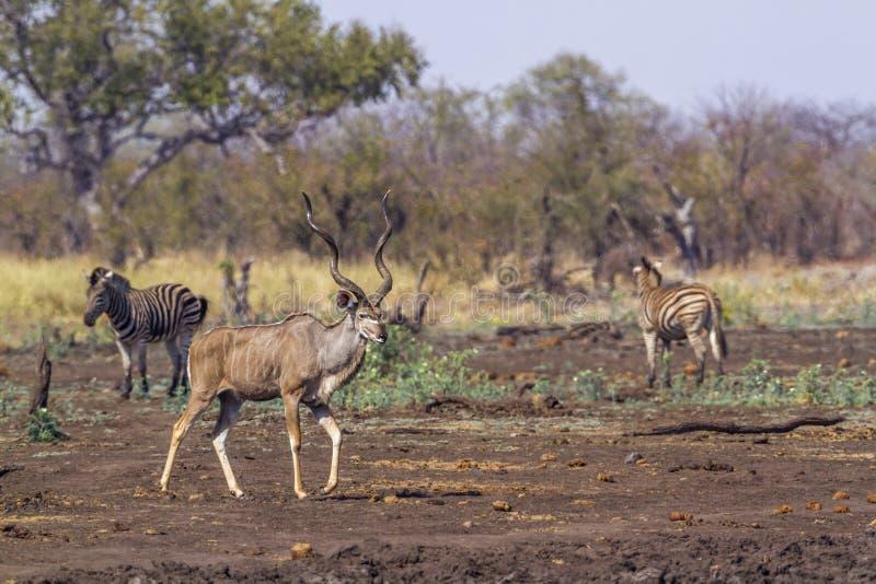 更加伟大的kudu在克鲁格国家公园,南非 免版税库存照片