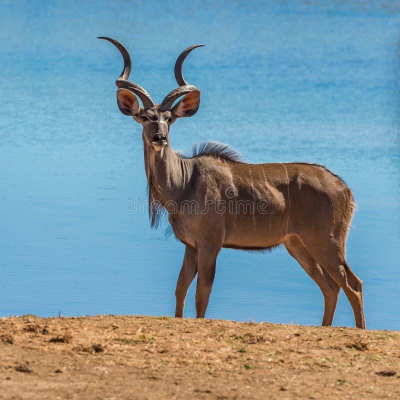 更加伟大的kudu在克鲁格国立公园,南非 免版税库存照片