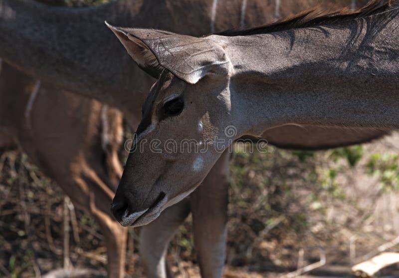 更加伟大的Kudu女性画象在Chobe国立公园,博茨瓦纳 免版税库存图片