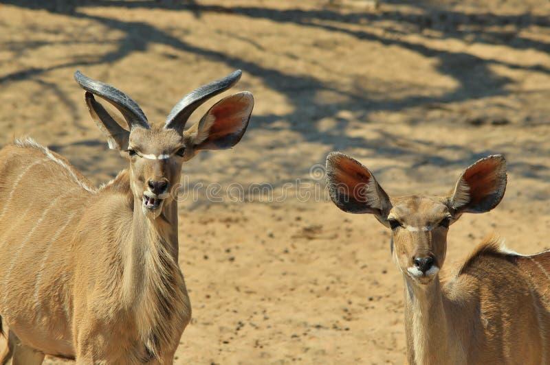 更加伟大的Kudu羚羊-非洲野生生物背景-吃乐趣 免版税库存照片