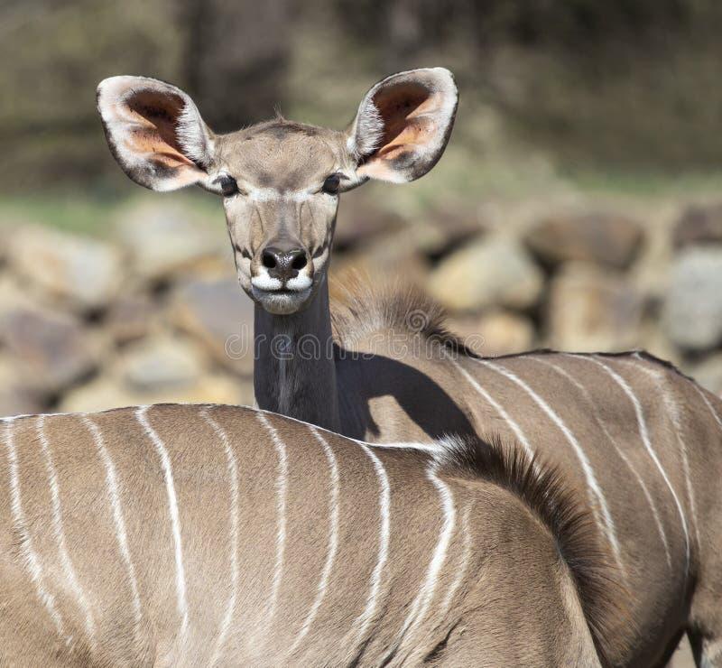 更加伟大的kudu,羚羊画象  免版税库存照片