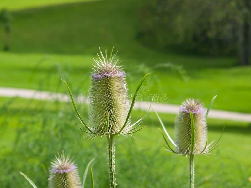 更加充分的` s起毛机或川续断属sativas开花在花圃特写镜头,选择聚焦,浅DOF 免版税库存图片