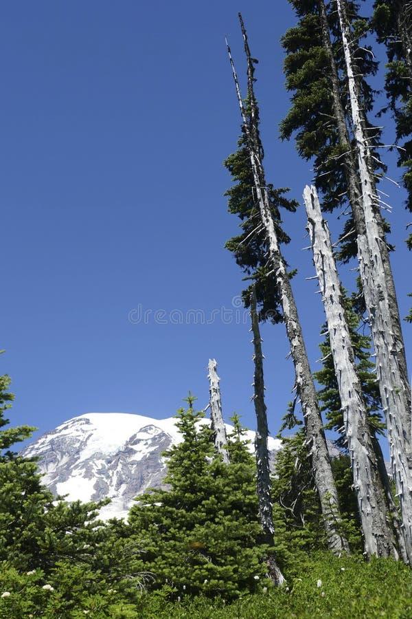更加多雨的Mt在针叶树断枝后涌现 免版税库存图片