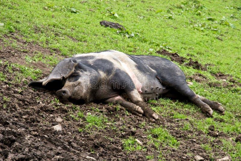 更加愉快的粪猪比 库存照片