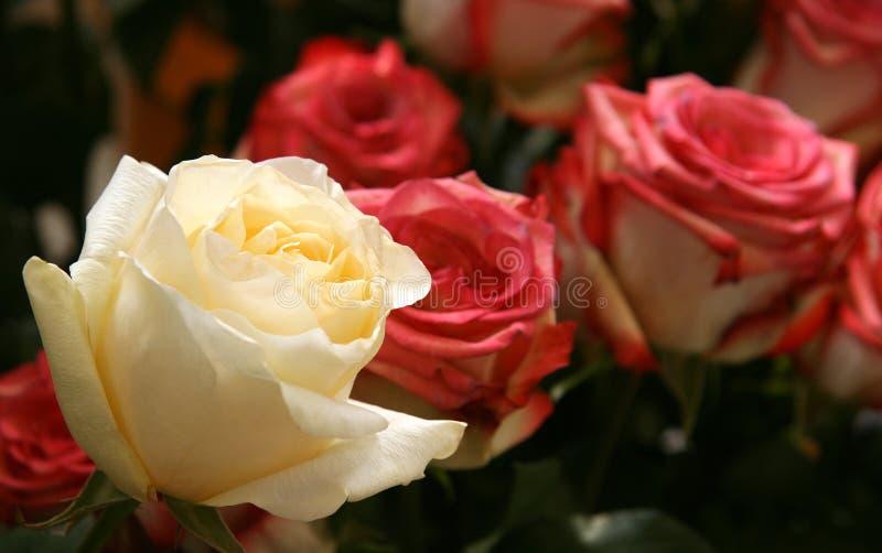 更加极大的玫瑰 图库摄影