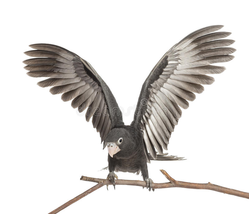 更加极大的脉管鹦鹉, Coracopsis脉管 免版税库存照片