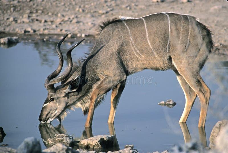 更加极大的kudu 免版税库存照片