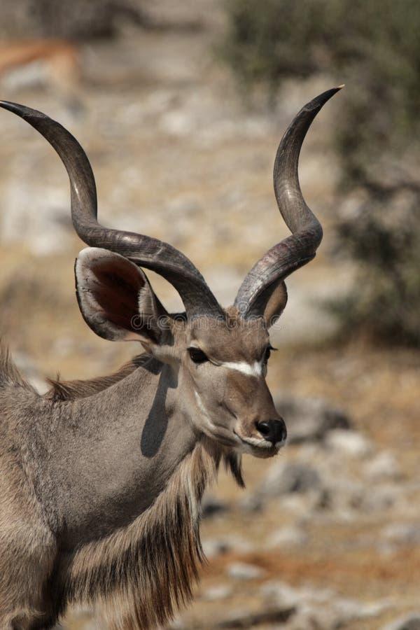 更加极大的kudu 库存照片