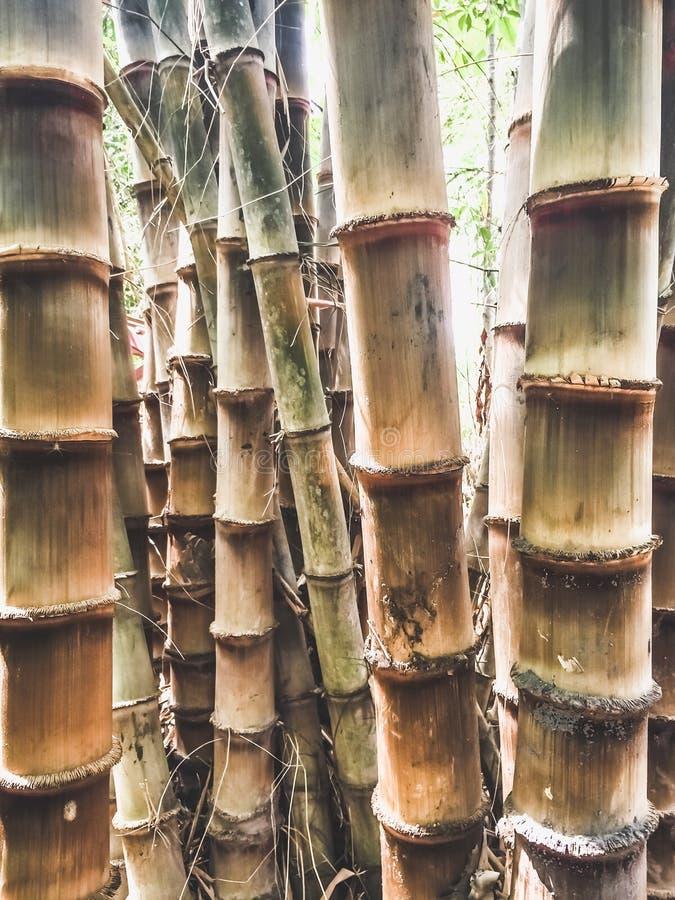 更大的竹子 免版税库存照片