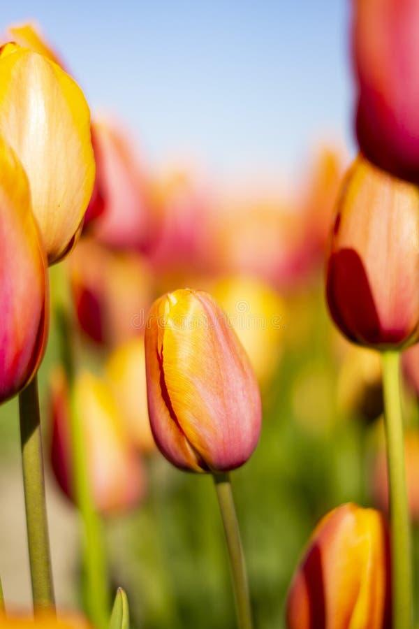 更高的花围拢的短的橙色桃红色郁金香花有被弄脏的背景 免版税图库摄影