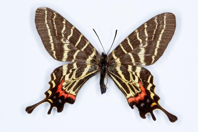 曼斯菲尔德的三被盯梢的swallowtail;bhutanitis mansfieldi 免版税库存照片