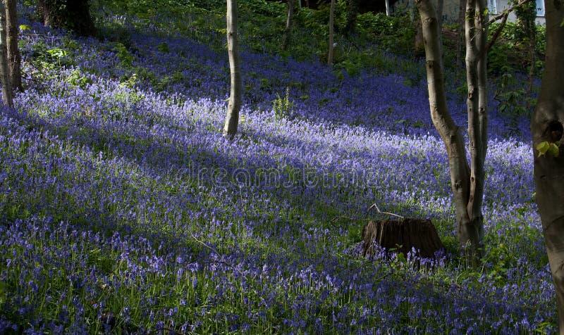 曼格会开蓝色钟形花的草 免版税图库摄影