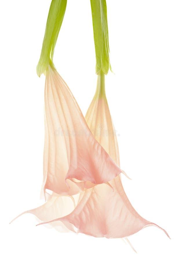曼陀罗花,在白色的秀丽 免版税库存图片