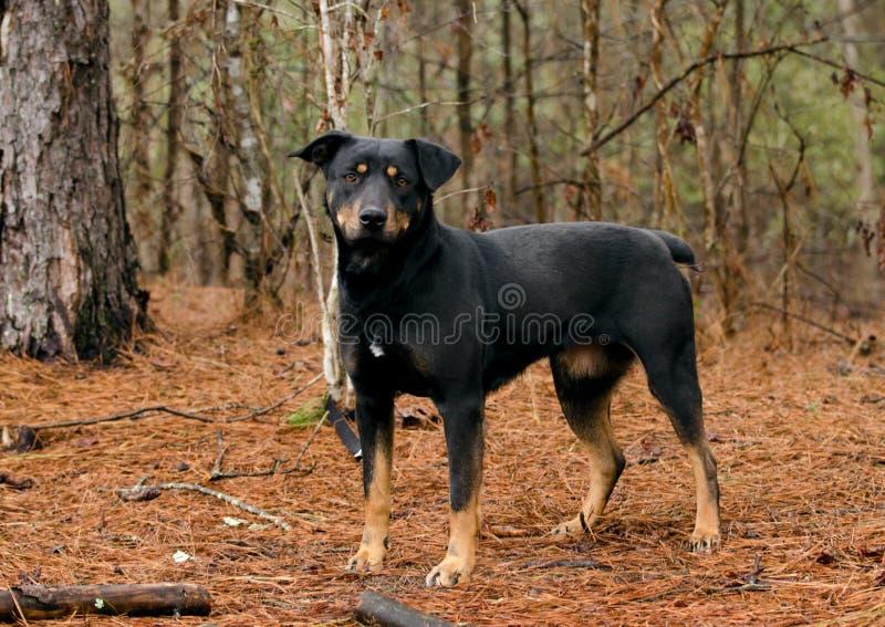 曼彻斯特狗微型短毛猎犬凯尔派被混合的品种 免版税库存照片