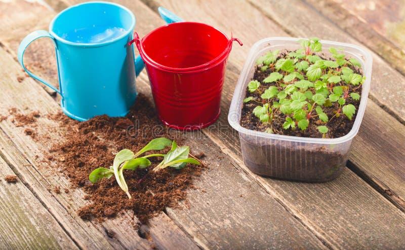 替换幼木,几个年轻绿色新芽在土壤说谎 库存图片