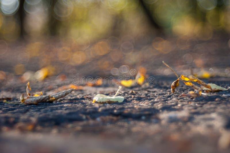 最后叶子垂悬从树枝的在落在秋天季节期间前,在等待的叶子的黄色颜色 免版税库存图片