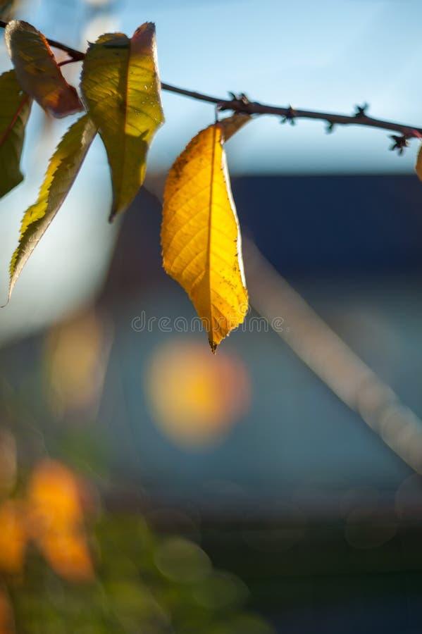 最后叶子垂悬从树枝的在落在秋天季节期间前,在等待的叶子的黄色颜色 免版税图库摄影