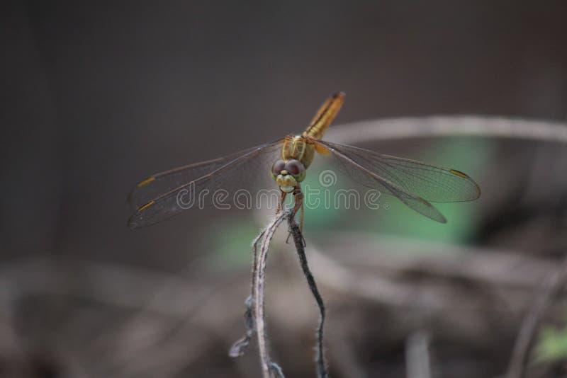 最后蜻蜓在一个小草甸 图库摄影