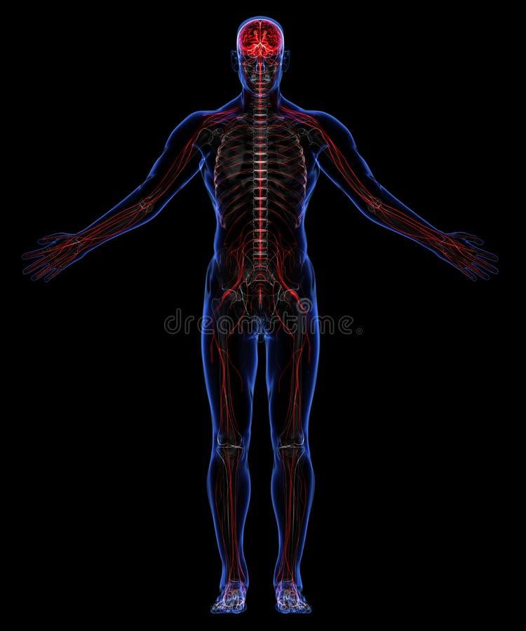最基本和神经系统 向量例证