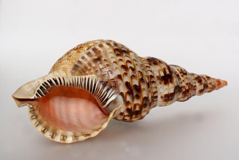 最大的前希腊壳蜗牛 免版税库存照片