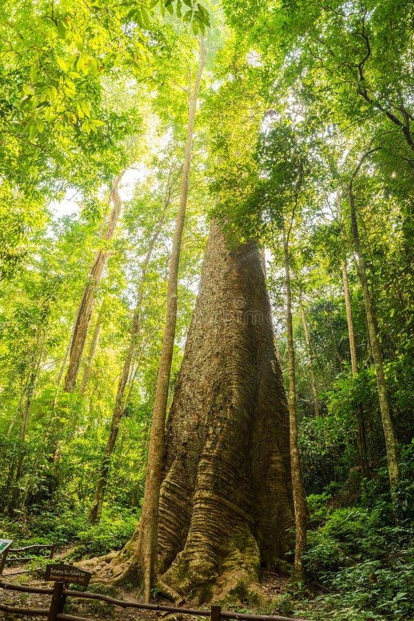 最大的mersawa树在泰国森林里 库存照片