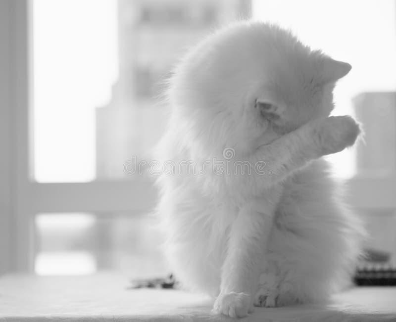 最好猫,掩藏在他的爪子后的一只白色土耳其安哥拉猫 库存图片