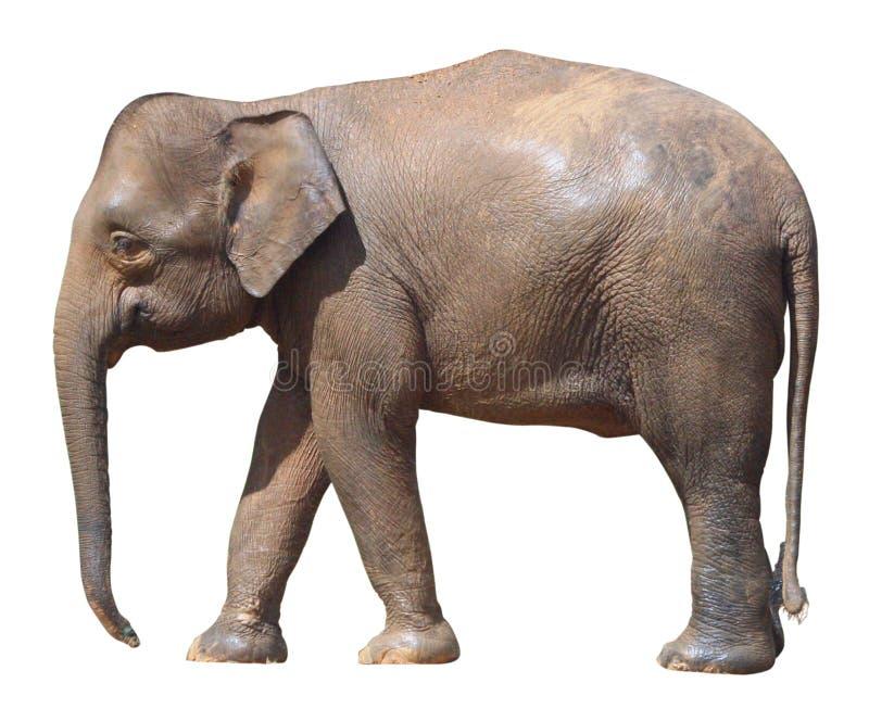 最小的大象,在白色背景的珍贵的婆罗洲矮小大象 免版税库存图片