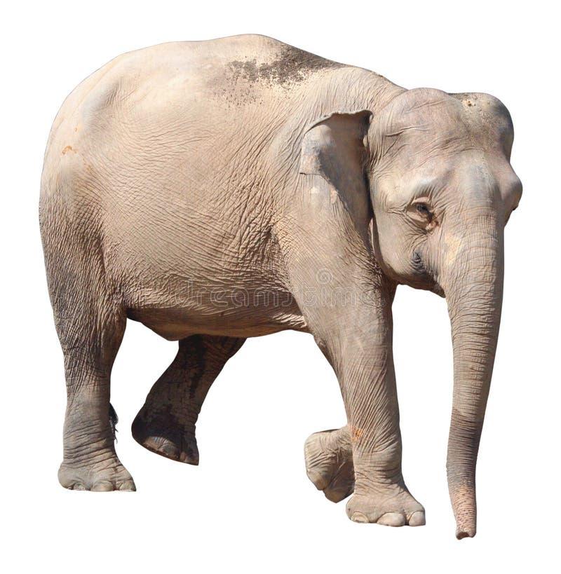 最小的大象,在白色背景的珍贵的婆罗洲矮小大象 免版税图库摄影