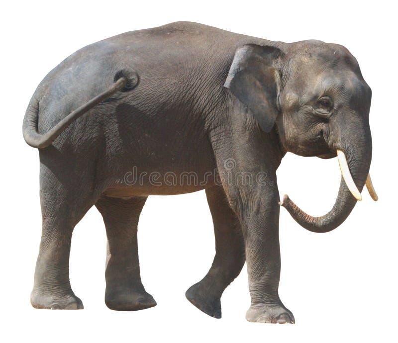 最小的大象,在白色背景的珍贵的婆罗洲矮小大象 免版税库存照片