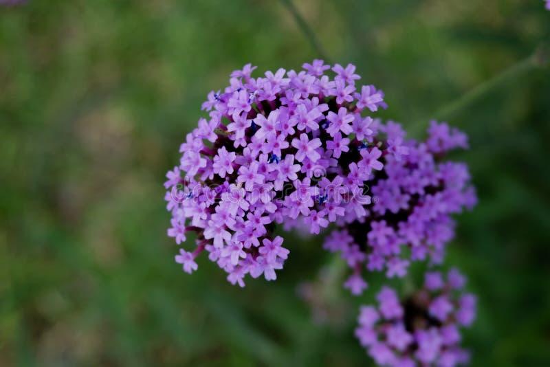 最小的紫色花在庭院里 库存照片