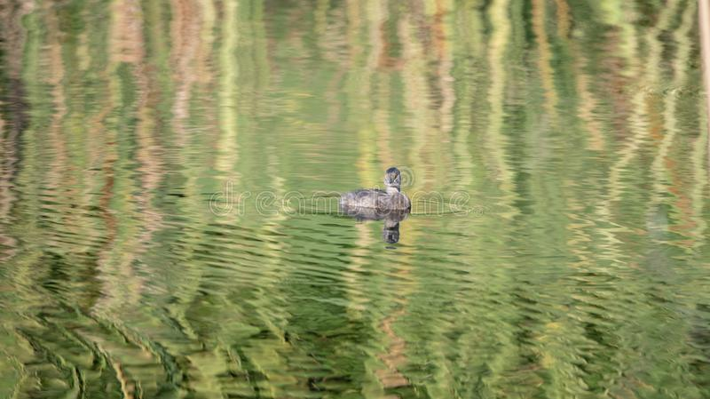 最少格里布Tachybaptus dominicus在有反射的一个小池塘漂浮在墨西哥 免版税库存照片
