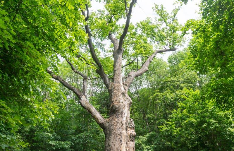 最旧的树在欧洲 图库摄影