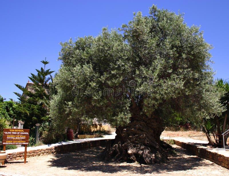 最旧的橄榄树 免版税库存照片