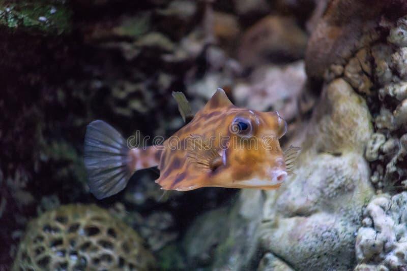 最有趣的鱼的车体有角的普通的Lactoria cornuta居住在温水的一和平中和印度 图库摄影