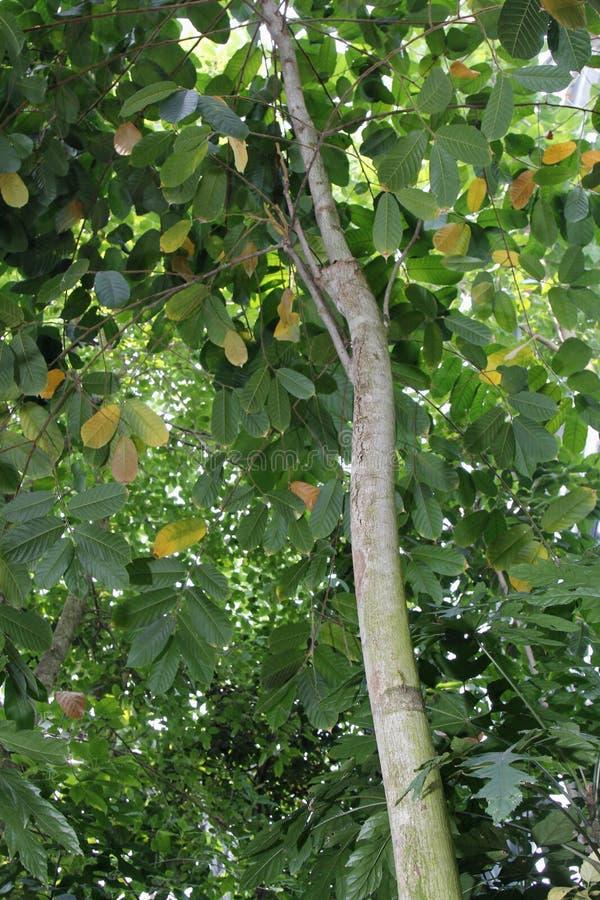最毒的植物Antiaris toxicaria 免版税库存图片