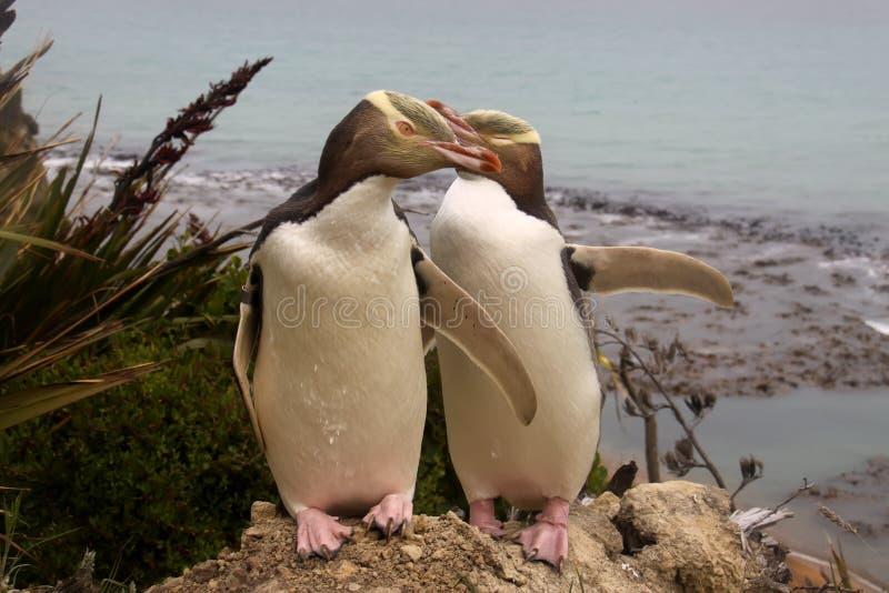 最罕见的黄色目的企鹅, megadyptes对映,新西兰,南岛 库存图片