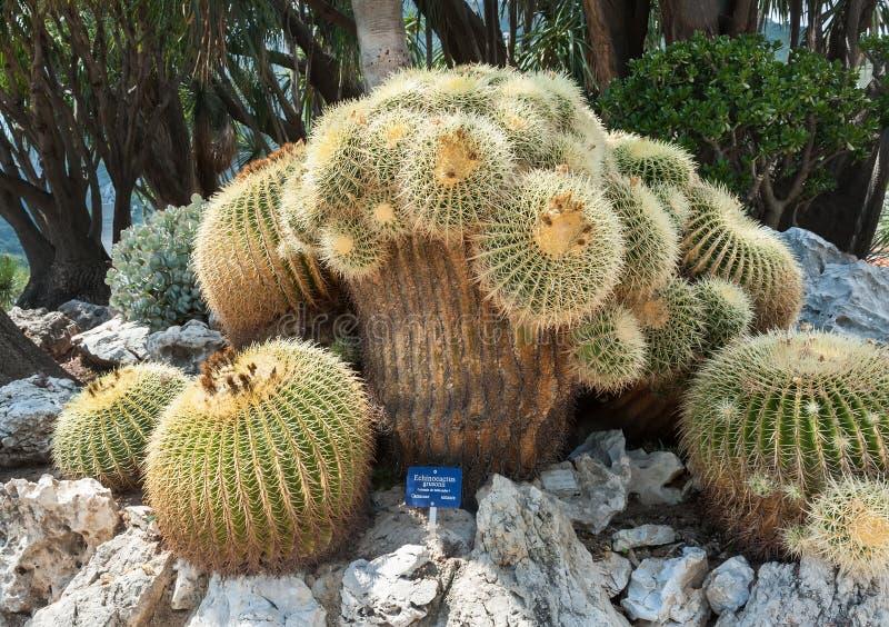 最老和唯一在欧洲Echinocactus grusonii 免版税库存照片