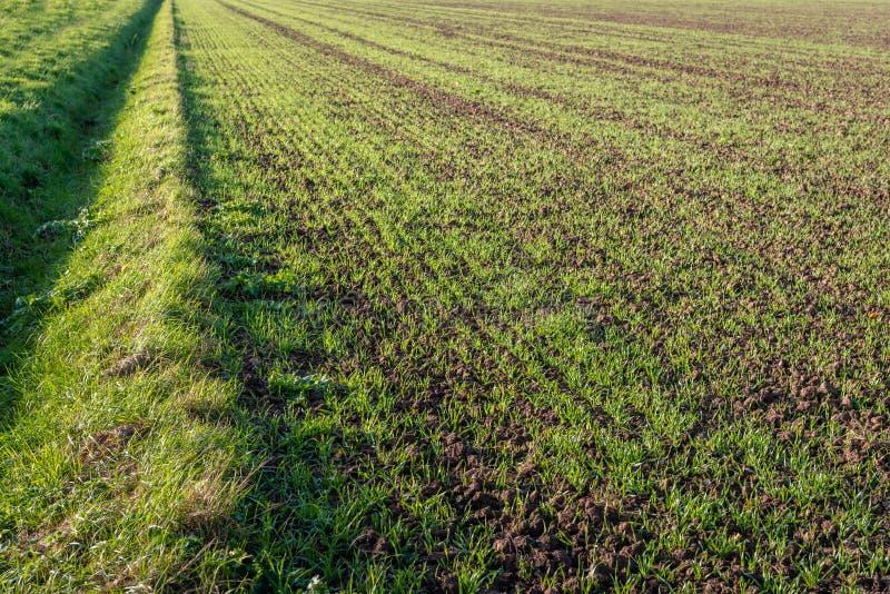 最近被播种的年轻新鲜的绿色草叶在生长在被粉碎的地球的长的行的 在领域旁边是一个干垄沟 它 免版税库存图片