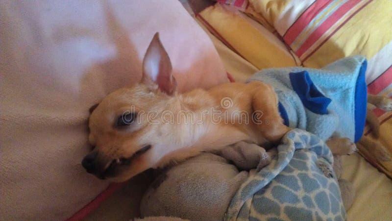 最逗人喜爱的奇瓦瓦狗 库存图片