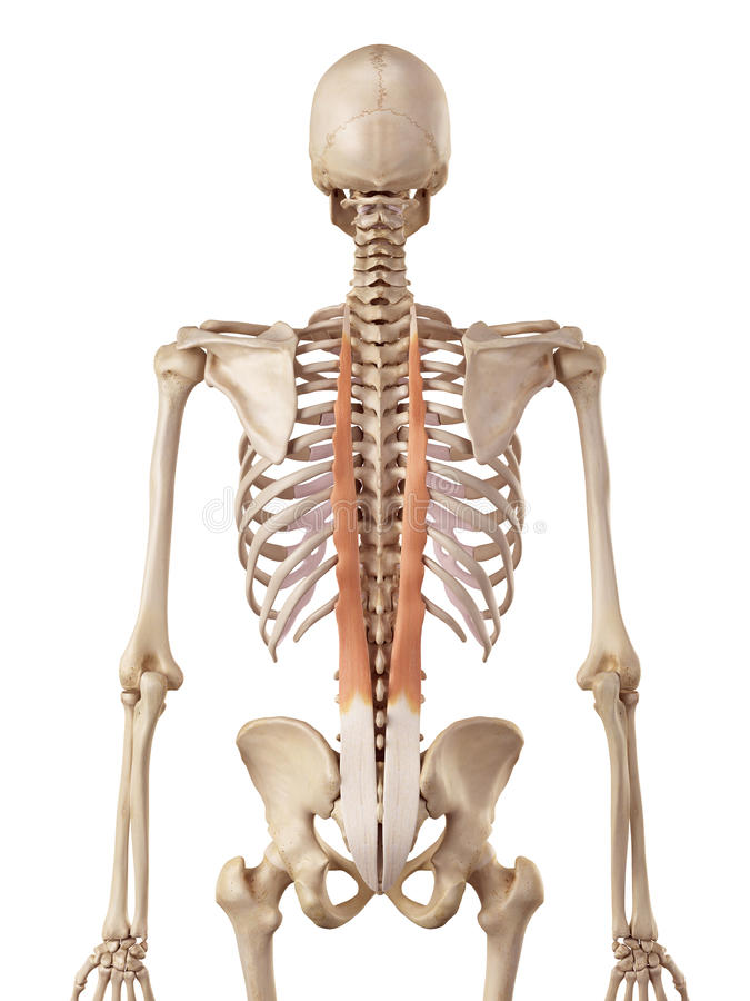 最长肌的thoracis 库存例证