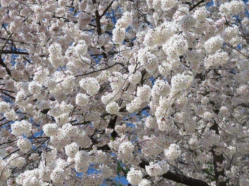 4月上旬蓬松樱花绽放 免版税库存图片