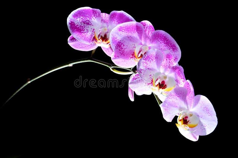 Download 月亮的兰花(兰花植物amabilis) 库存图片. 图片 包括有 尖顶, 花卉, 生气勃勃, 开花, 装饰 - 30334739