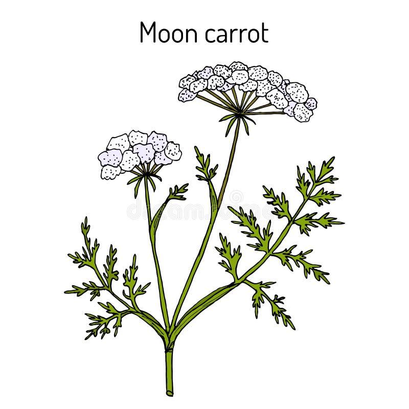月亮红萝卜月萝卜libanotis,药用植物 向量例证