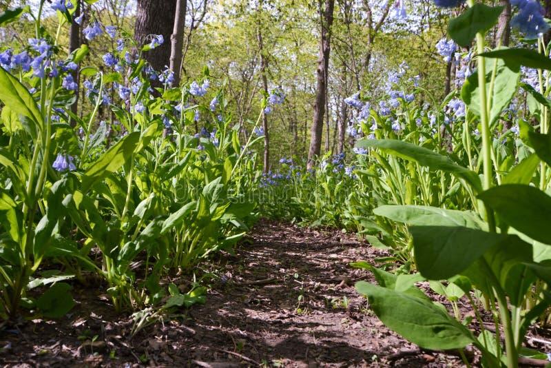 5月会开蓝色钟形花的草森林路 免版税库存照片