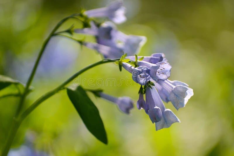 5月会开蓝色钟形花的草群 图库摄影