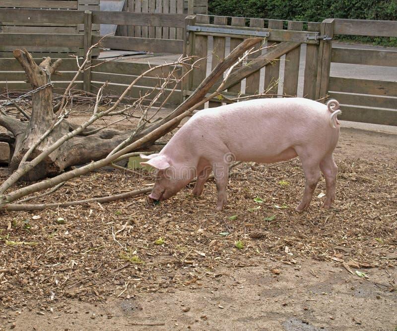 月大小猪二 免版税库存照片