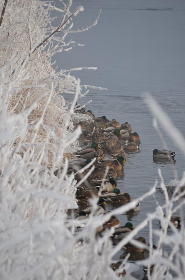 1月弗罗斯特巨型` s参观,鸭子为温暖挤作一团 库存图片