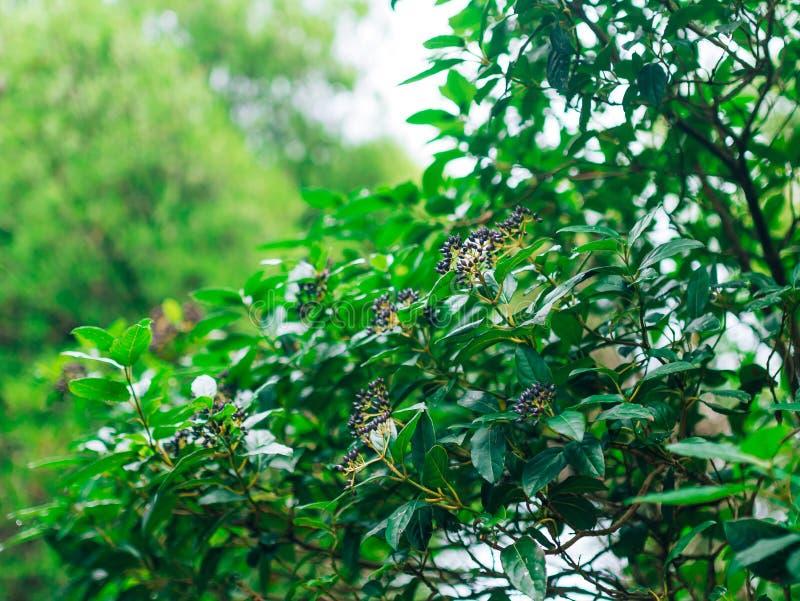 月桂树和莓果叶子在树 在狂放的月桂树叶子 免版税库存图片