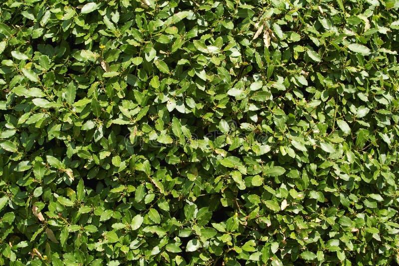 月桂树灌木 库存图片