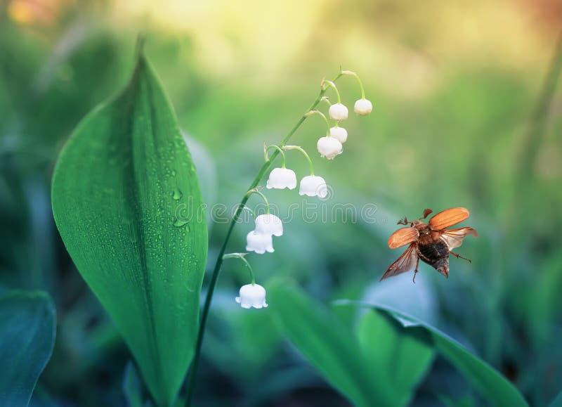 5月甲虫飞行在有白色美丽的百合的森林沼地  库存照片